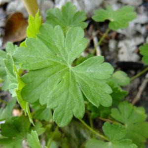 Photographie n°284372 du taxon Geranium macrorrhizum L.
