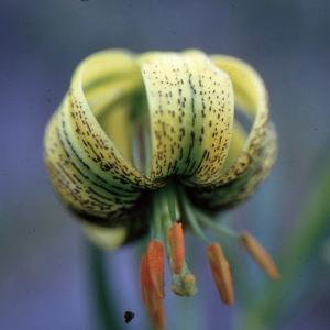 Lilium pyrenaicum Gouan (Lis des Pyrénées)