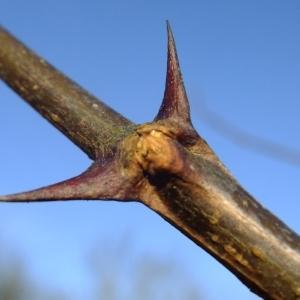 Photographie n°284530 du taxon Robinia pseudoacacia L.