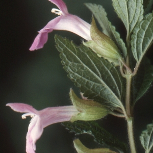Photographie n°284743 du taxon Melittis melissophyllum L. [1753]
