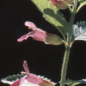 Photographie n°284744 du taxon Melittis melissophyllum L. [1753]