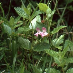 Photographie n°284745 du taxon Melittis melissophyllum L. [1753]