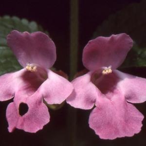 Photographie n°284746 du taxon Melittis melissophyllum L. [1753]