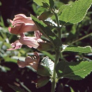 Photographie n°284747 du taxon Melittis melissophyllum L. [1753]