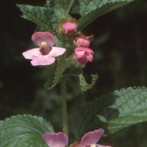 Photographie n°284748 du taxon Melittis melissophyllum L. [1753]