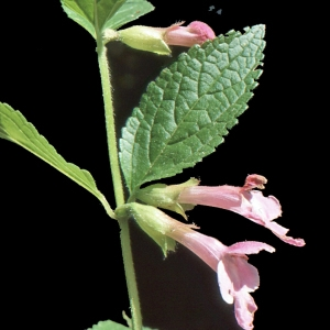 Photographie n°284749 du taxon Melittis melissophyllum L. [1753]