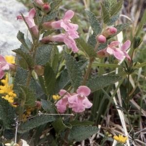 Photographie n°284752 du taxon Melittis melissophyllum L. [1753]
