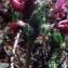 Liliane Roubaudi - Pedicularis cenisia Gaudin [1829]