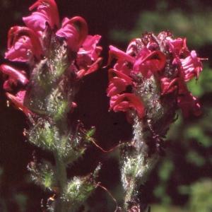 Photographie n°284858 du taxon Pedicularis cenisia Gaudin