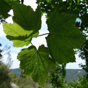 Photographie n°284960 du taxon Acer opalus Mill.