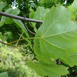 Photographie n°284967 du taxon Acer opalus Mill.