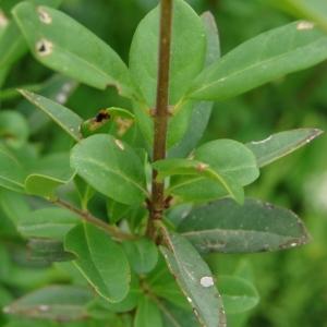 Photographie n°285039 du taxon Ligustrum vulgare L. [1753]