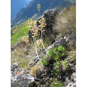 Hormathophylla halimifolia (Boiss.) P.Küpfer (Alysson à feuilles d'halimium)