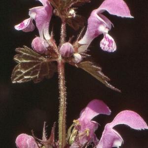 Photographie n°285269 du taxon Lamium maculatum (L.) L. [1763]