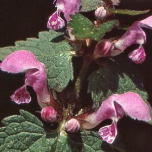 Photographie n°285270 du taxon Lamium maculatum (L.) L. [1763]