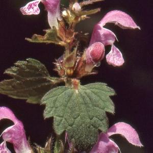 Photographie n°285271 du taxon Lamium maculatum (L.) L. [1763]