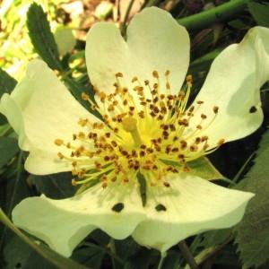 Photographie n°285407 du taxon Rosa arvensis Huds.