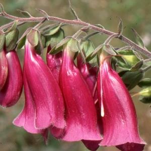 Photographie n°285425 du taxon Digitalis purpurea L.