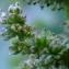 Yoan Martin - Amaranthaceae