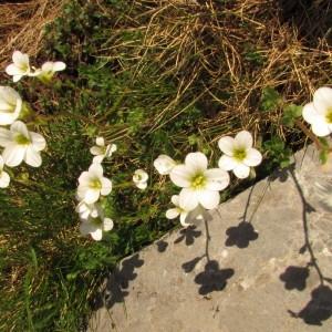 Photographie n°285658 du taxon Saxifraga granulata L.