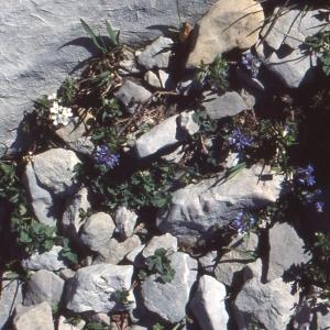 Photographie n°285802 du taxon Veronica nummularia Gouan [1773]
