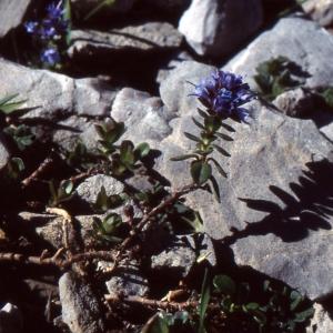 Photographie n°285805 du taxon Veronica nummularia Gouan [1773]