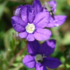 Photographie n°285996 du taxon Legousia speculum-veneris (L.) Chaix
