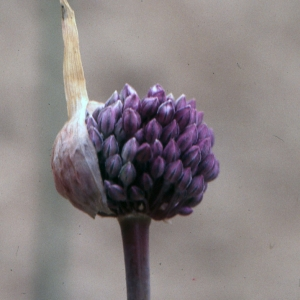 Photographie n°286142 du taxon Allium vineale L.