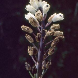 Photographie n°286150 du taxon Bellevalia romana (L.) Rchb. [1830]