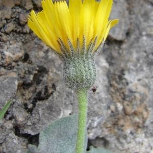 Photographie n°286288 du taxon Hieracium tomentosum L. [1755]