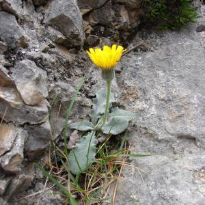 Photographie n°286289 du taxon Hieracium tomentosum L. [1755]