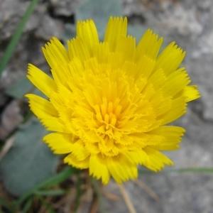 Photographie n°286291 du taxon Hieracium tomentosum L. [1755]