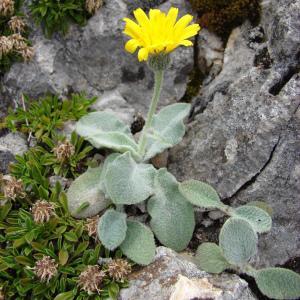 Photographie n°286293 du taxon Hieracium tomentosum L. [1755]