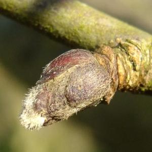 Photographie n°286443 du taxon Malus domestica Borkh. [1803]