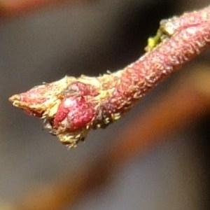 "Photographie n°286473 du taxon Cotoneaster spongbergii J.Fryer & B.Hylm"""