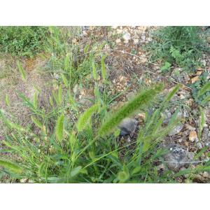 Setaria italica (L.) P.Beauv. (Millet d'Italie)