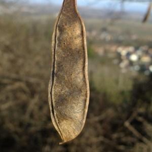 Photographie n°286615 du taxon Robinia pseudoacacia L.