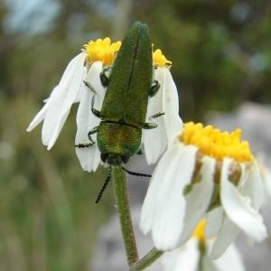 Photographie n°286772 du taxon Tanacetum corymbosum (L.) Sch.Bip. [1844]