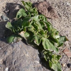 Photographie n°286861 du taxon Aizoaceae
