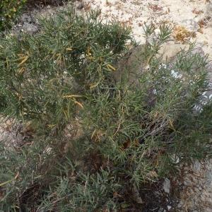 Photographie n°286935 du taxon Helianthemum syriacum (Jacq.) Dum.Cours. [1802]
