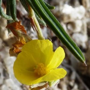 Photographie n°286936 du taxon Helianthemum syriacum (Jacq.) Dum.Cours. [1802]