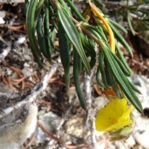 Photographie n°286937 du taxon Helianthemum syriacum (Jacq.) Dum.Cours. [1802]