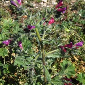 Photographie n°287076 du taxon Echium sabulicola Pomel [1874]
