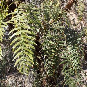 Photographie n°287138 du taxon Schinus molle L.