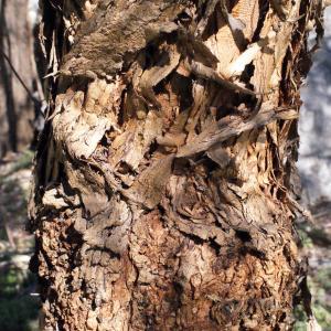 Photographie n°287142 du taxon Schinus molle L.
