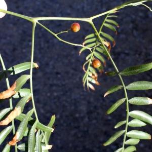 Photographie n°287144 du taxon Schinus molle L.