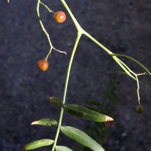 Photographie n°287147 du taxon Schinus molle L.