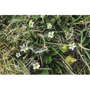 Minuartia rupestris (Scop.) Schinz & Thell. subsp. rupestris (Minuartie des rochers)