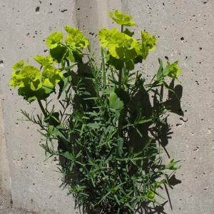 Photographie n°288001 du taxon Euphorbia serrata L. [1753]