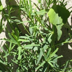 Photographie n°288002 du taxon Euphorbia serrata L. [1753]
